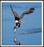 The Wintering Bald Eagles of Iowa