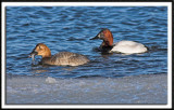 Canvasback Duck Pair