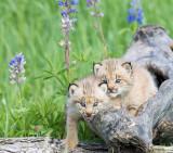 Playful Lynx Kittens