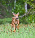 Fawn Romping Through Meadow