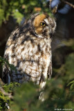 Hibou moyen-duc / Long-eared Owl