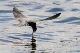Guifette noire / Black Tern