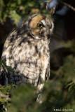 Hibou moyen-duc / Long-eared Owl