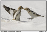 Bruants des neiges / Snow Buntings