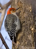 Pic à ventre roux / Red-bellied Woodpecker