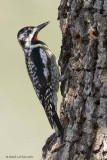 Pic maculé / Yellow-bellied Sapsucker