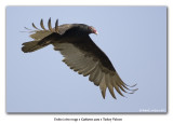 Urubu à tête rouge / Turkey Vulture