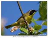 Paruline masquée / Common Yellowthroat
