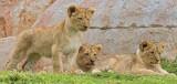 lion_camp_