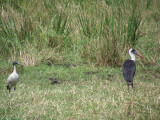 Sacred ibis and wooly necked stork-0801