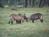 Young waterbuck play fighting-0813