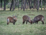 Young waterbuck play fighting-0818