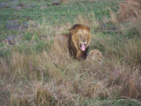 Lions mating-0852