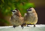 lovebirdsDSCF0012_1020.jpg
