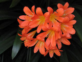 Clivia, under dark stairwell back home