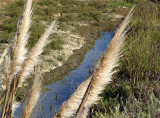 Feather grass over water