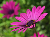 Pink Daisy by Nifty