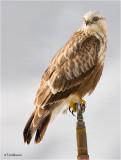 Rough-legged Hawk   ( sitting on a sprinkler head in an orchard)