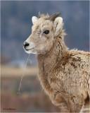 Bighorn Sheep  (yearling)