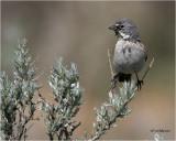 Sage Sparrow (perched on sage)