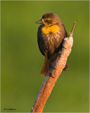 Yellow-headed Blackbird (female)