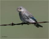 Mountain Bluebird  (Juvenile)