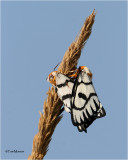 Mating  Hera Buckmoths