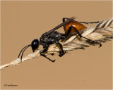 Forest-Spider-Wasp