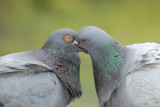 Pigeon, Love is in the air