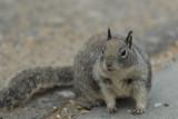 Ground Squirrel
