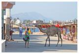 A Shopping Camel