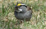 white throated-sparrow.jpg