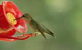 ...Ruby-throated ( female )