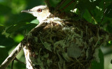 ...Red-eyed Vireo...