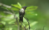 Ruby-throated Hummingbird (Male)