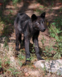 Wolf Pup Is Growing!