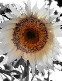 Sunflower washed lightly in color