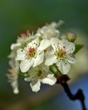 Pear Blossom IMGP3632.jpg