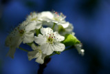 Pear Blossom IMGP3635.jpg