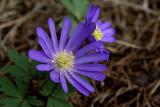 Purple Petals IMGP3476.jpg