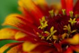 Zinnia Colors IMGP6152.jpg