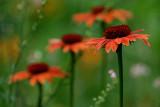 Orange Coneflower IMGP7991.jpg
