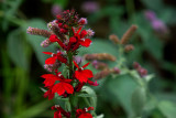 Lobelia Cardinalis IMGP9915.jpg