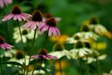 Echinacea IMGP0019.jpg