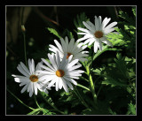 Early daisies