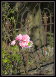 Roses in the Graveyard