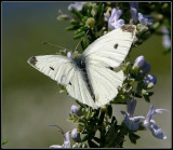 White Cabbage Butterfly 1.jpg