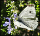 White Cabbage Butterfly 2.jpg