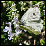White Cabbage Butterfly 3.jpg