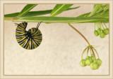 monarch_on_swan_plant.jpg